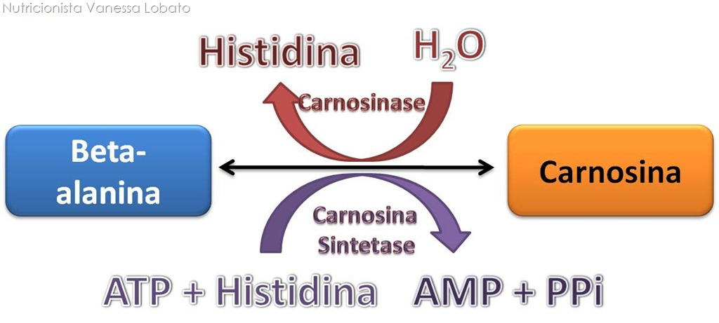 Carnosina-e-beta-alanina3